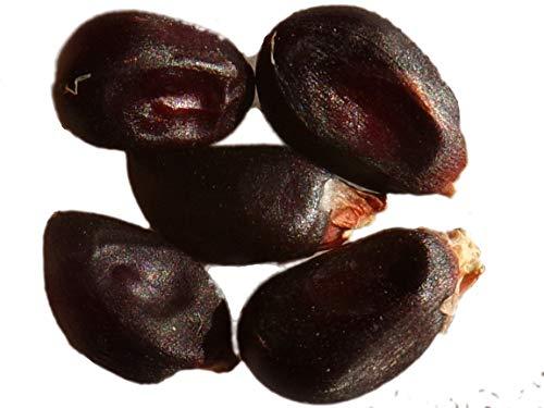 Maïs à Tortilla Noir - 13 graines - Zea Maïs - Black Tortilla Corn - SEM09