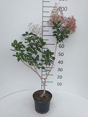 Späth Perückenstrauch LH 60-100 cm im 3 Liter Topf Heckenpflanze winterhart Zierstrauch Halbschatten