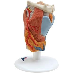 3B Scientific Human Anatomy - Larynx Model, 2 Part