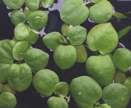 Limnobium laevigatum Froschbiss Aquariumpflanzen - Wasserpflanzen - Schwimmpflanzen (15 Stück)