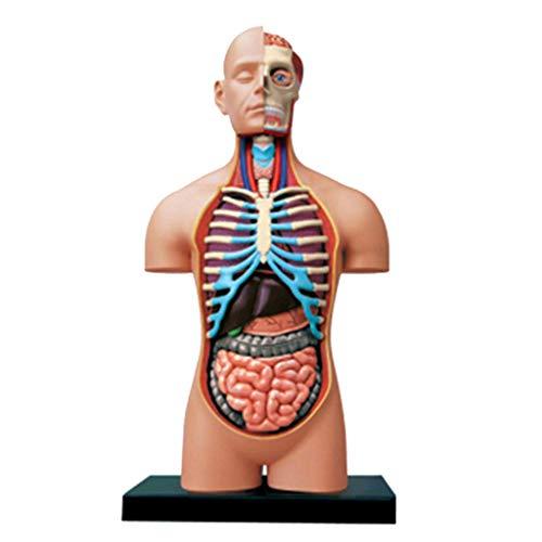 Bildungsmodell 4D Vision Human Anatomy Model Puzzle Assembly Toy Anatomical Huamn Interne Organe für Lernressourcen Pädagogische