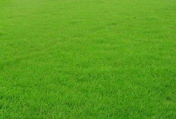300pcs Chine Haute qualité gazon semences de gazon Semences de l'herbe