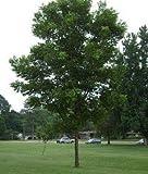 Caddo Pecan Tree - 2 Year Old 3-4 Feet Tall