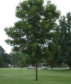 Bob Wells Nursery Desirable Pecan Tree