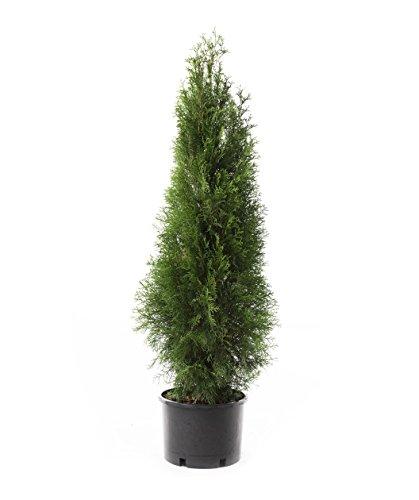 Emerald Green Arborvitae (Thuja occidentalis 'Emerald') 1-2 ft. Tall