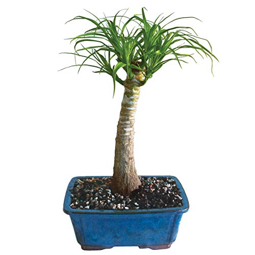 Brussel's Live Pony Tail Palm Indoor Bonsai Tree - 5 Years Old; 12' to 20' Tall with Decorative Container