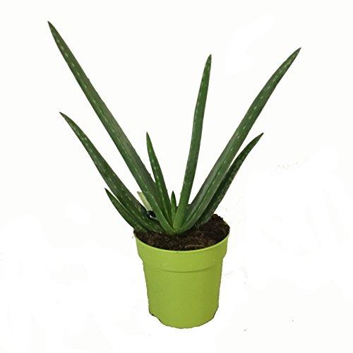 Aloe Vera Planta - Maceta...