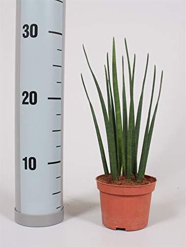 Sanseveria Mikado, mit dunkelgrünen kräftigen schlanken Blättern, pflegeleichte Zimmerpflanze, außergewöhnliche Blattform (im 10cm Topf, ca. 30cm hoch)