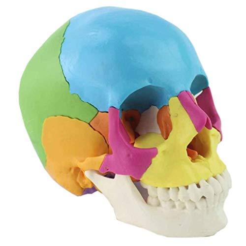 NO BRAND Cráneo Humano de Color, Desmontable anatomía cráneo, 22 Piezas