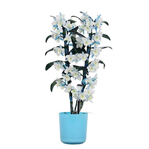 Orchidee – Bambus Orchidee in blauem Übertopf als Set – Höhe: 50 cm, 2 Triebe, weiß-blaue Blüten