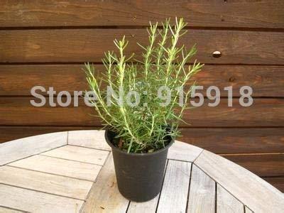 ROSEMARY - Rosmarinus officinalis - 100 GRAINES