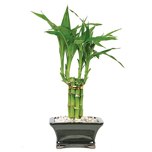"Brussel's Live Lucky Pyramid Bamboo - 3 Layer - 3 Years Old; 14"" to 18"" Tall with Decorative Container"
