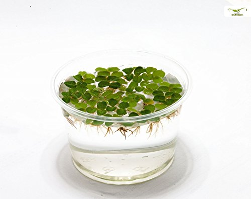 Hübsche Schwimmpflanze für Teich und Aquarium - Büschelfarn Nano - Salvia natans - Garnelio Portion