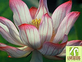 Liveseeds - Two-Colour/Red & Whit//water lily flower Bowl-