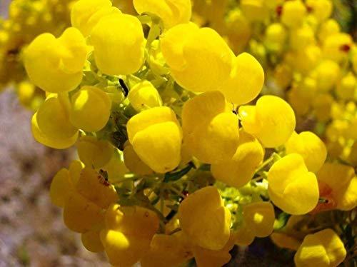 Germinación Las Semillas: Las Semillas de Flor del Deslizador - Calceolaria Mexicana