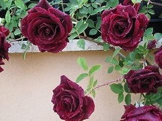 vigoureuse avec feuillage riche pour les bordures et les parterres de fleurs cod.0209 rose /à racine nue de Rose Barni /® plante de rose cr/ème ros/é plante buisson Sans Souci/®