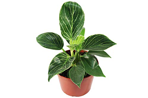 Birkin Philodendron Variegated- 6