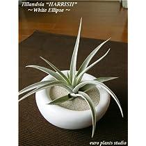 エアープランツチランジア・ハリシィ / ホワイトイリプス / AirPlants Tillandsia・harrisii / White Ellipse / インテリアグリーン / ミニ観葉植物