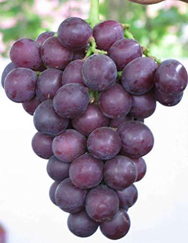 Fruchttraubensamen, 20 Stück, kyoho Traubensamen, schwarz/rot/grün Erwähnung Kind lecker, nahrhafter, süßer natürlicher Snack Bio-Samen für Pflanzung Garten Hof. - Giant Rose Grape Seeds