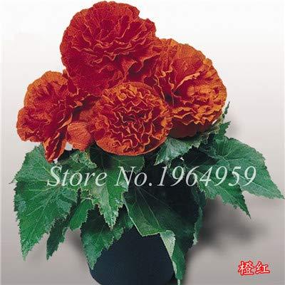 Shopmeeko Graines: Livraison gratuite 100 pcs/sac Decoratie Belle Begonia fleur en pot Bonsai jardin mur usine Décoration pour l'arbre de Noël: 1