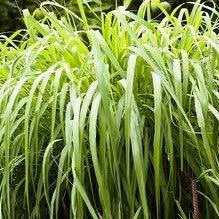 Planta Citronella Cymbopogon Citratus PORTES GRATIS