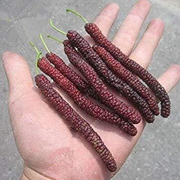 Vistaric 200 pcs/sac long graine de mûrier, mûrier rare, graines de fruits de plantes exotiques du Pakistan, grand super doux nourriture sans OGM pour le jardin