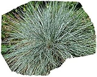Blue Fescue Seeds Ornamental Grass Festuca ovina glauca #327 (1 oz or 22500 Seeds)
