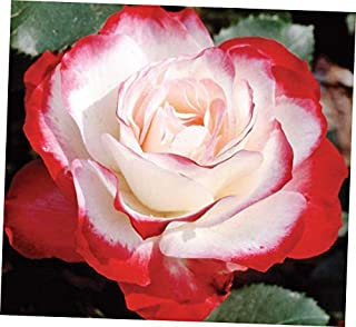 ZEE 1 Red Flowers Cherry Parfait Rose Plant Potted Fragrant - RK156