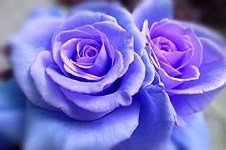 Fragrant Rose Bushes