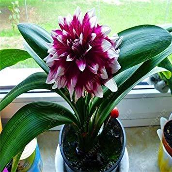 VISTARIC 50pcs Günstige Clivia Samt Schöner Pflanzen für Balkon Bonsai Selten Blumensamen Stauden Kaffir Lily Garten-Dekoration Sementes Gelb