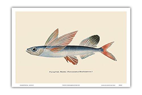 Pacifica Island Art Fliegende Fische (Malolo) - Waikiki Hawaii Aquarium - Jahrgang Farbe Postkarte c.1905 - hawaiianischer Kunstdruck - 31cm x 46cm