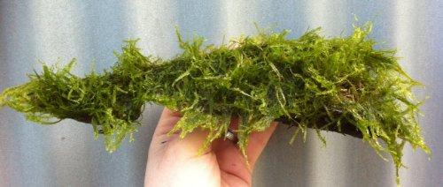 Mühlan Wasserpflanzen Wurzel bepflanzt mit Javamoos für Aquarium