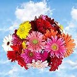 GlobalRose 60 Fresh Cut Gerbera Flowers - Fresh Flowers For Birthdays, Weddings or Anniversary.