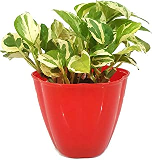 Live Money Plant with Red Plastic Pot
