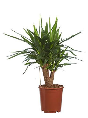 Planta de interior de Botanicly – Palmera Yucca – Altura: 80 cm – Yucca elephantipes