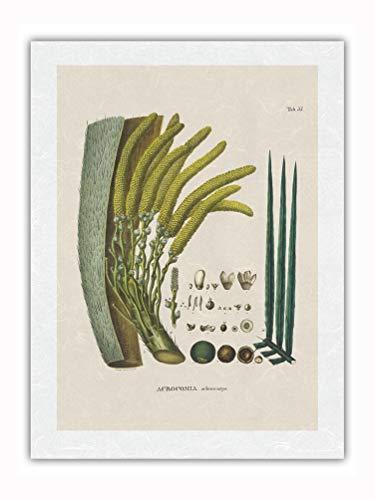 Pacifica Island Art コヨルヤシの木(アクロコミアアキュレアタ) - Flor y Semilla - Ilustración botánica de Carl Friedrich Philipp Von Martius c.1800s - Impresión de Arte Papel Premium de Arroz Unryu 46x61cm