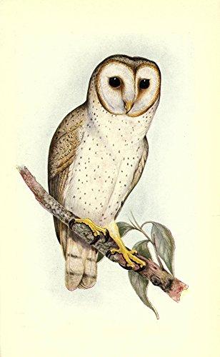 Posterazzi Useful Australian Birds 1921 Delicate Owl Poster Print by J & E Gould, (18 x 24)