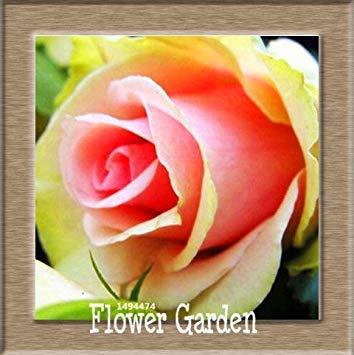VISTARIC 15: pots de fleurs Big jardinières, 20 types, 50 PCS/Lot, rose graines arc-en-Belle rose graines bonsaïs graines, 15 B4LT8H