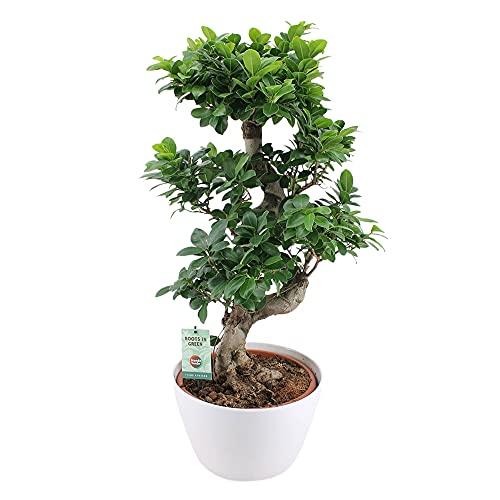 Ficus microcarpa GINSENG XL | Bonsaï | Plante verte d'intérieur | Hauteur 80-85cm | Cache-pot blanc Ø 30cm inclus
