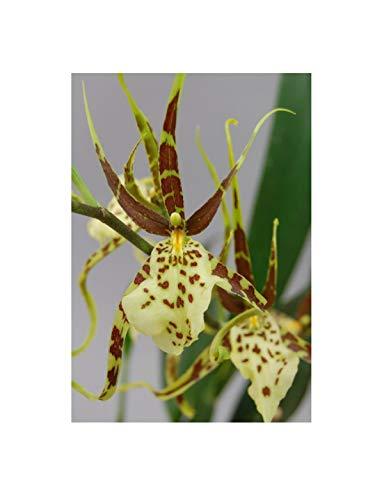 Stk - 2x Brassia Eternal Wind Summer Dream großblüte cremgrün Orchidee OWD19 - Seeds Plants Shop Samenbank Pfullingen Patrik Ipsa