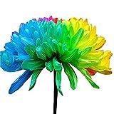 Plantas artificiales, flores, frutas y verduras, 1 bolsa de semilla de crisantemo arco iris, llamativa, resistente a la sequía, colorido balcón bonsái semilla para jardín, crisantemo arcoíris