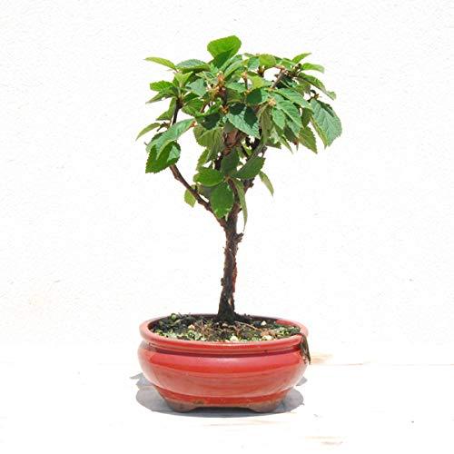 Prunus Tomentosa Bonsái 7 Años Cereza de Shangai Planta Interior y Exterior