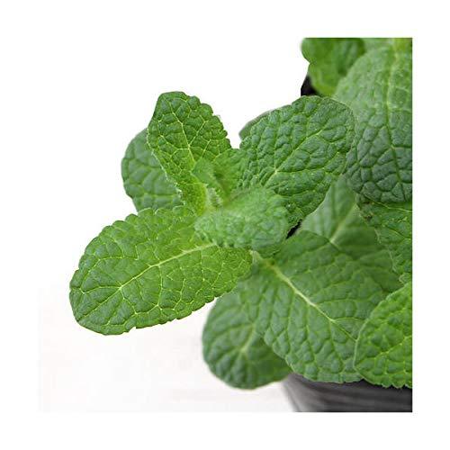 (観葉植物)ハーブ苗 ミント アップルミント 3号(3ポット) 家庭菜園