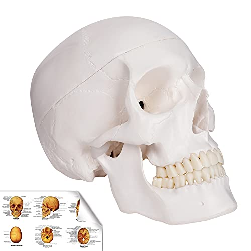 RONTEN Human Skull Model, Life Size Replica Medical Anatomy Anatomical Adult Model with Removable...