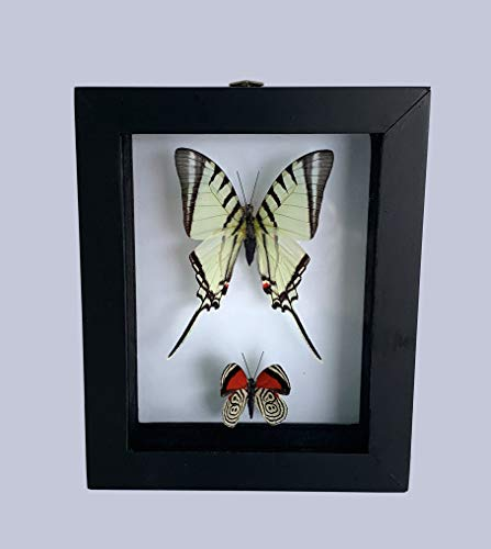 Two REAL BUTTERFLIES in a Beautiful Surprise Pairing - Taxidermy Mounted Amazon Rain Forest Butterfly Specimens in one Shadow Box - Stand Alone Frame for Wall, Shelf, or table display - 360 Viewing