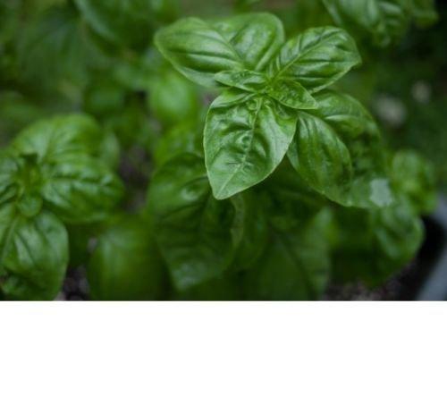 Basilic, basilic Genovese Herb Seeds - frais et non OGM (800+ Seeds)