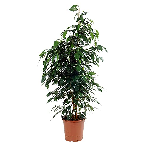 Ficus benjamina 'Danielle'   Birkenfeige Zimmerpflanze groß   Höhe 100-110 cm   Topf-Ø 21 cm
