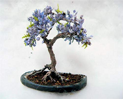 Blue Jacaranda Tree Seeds (20 Pack) - Excellent Bonsai Specimen - Exotic Flowering Bonsai - Blooming Tree