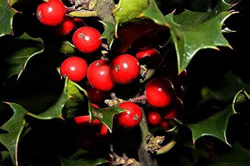 40 English Beauty products Holly Ilex Aquifolium aka Baltimore Mall European Common Tree