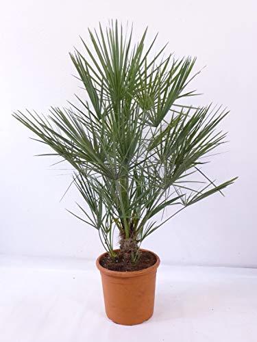 [Palmenlager] - Chamaerops humilis - Zwergpalme - 110 cm // -12°C Frost - Indoor u. Outdoorpalme